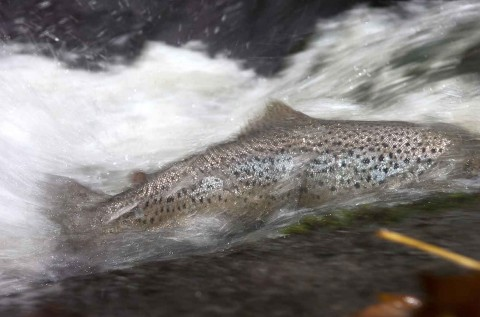 Fundraising_Trout