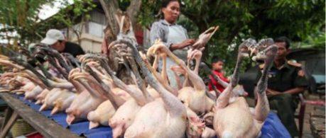 kyllingefodder