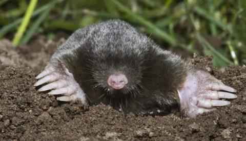 Muldvarpen ses sjældent over jorden. Muldvarpen er normalt et gavnligt dyr, der forsyner muldjorden med ventilerende luftkanaler. Men i havens plæne er dens skud uønskede, og mange muldvarpe fanges som denneher med fælder.