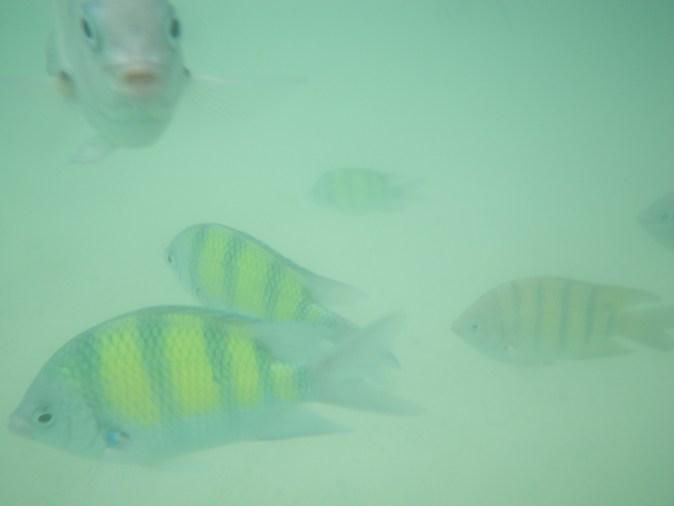fiskar i grumligt vatten