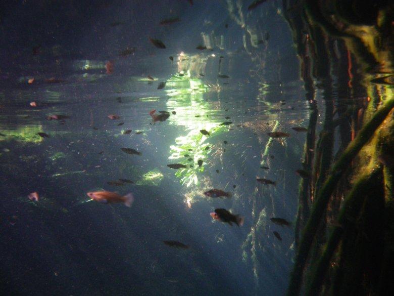 fiskar i cenote
