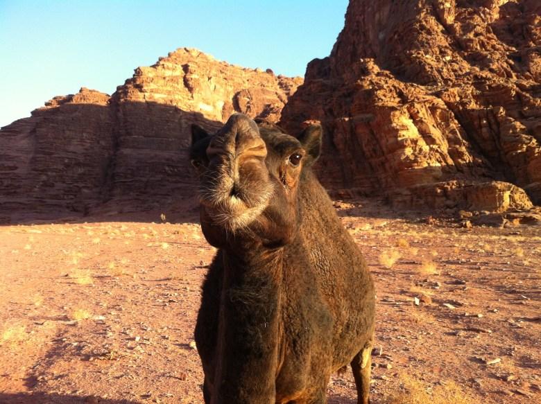 kamelpuss