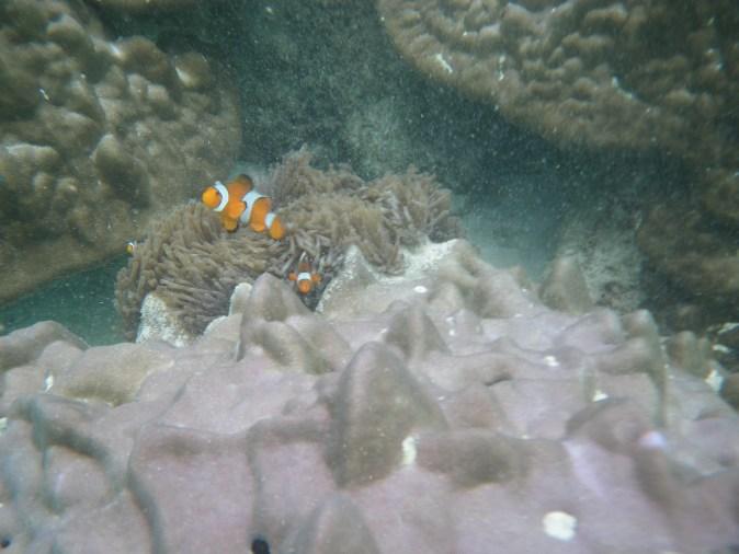 clown fisk