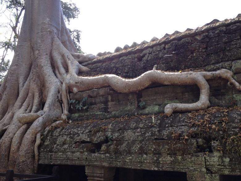 tjocka rötter på ruin