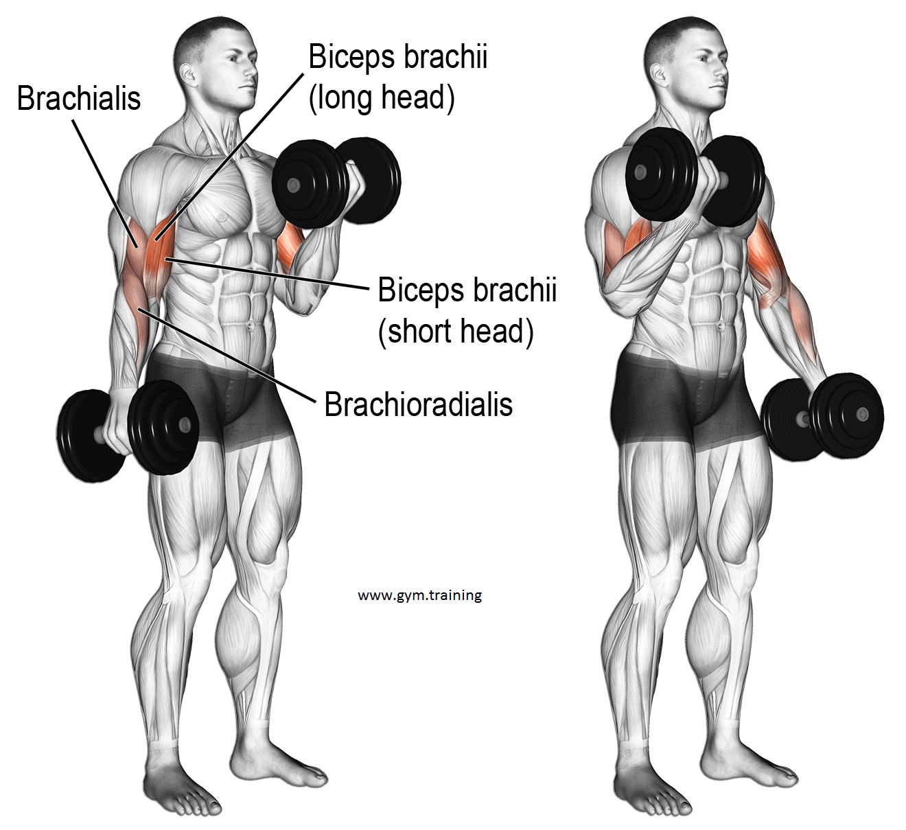 What are the Effective Biceps Workout With Dumbbells? Gym ...