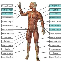 Pull Up Muscles Worked Diagram 7 Blade Wiring Truck Side Skill Ups Gymnastics Box Here Are A Couple Of Diagrams Showing What Involved With The Strict I E No Swing Or Kip Activated Highlighted Courtesy