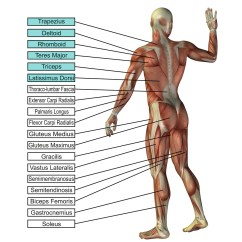 Pull Up Muscles Worked Diagram Solar Panel Charge Controller Circuit Skill Ups Gymnastics Box Here Are A Couple Of Diagrams Showing What Involved With The Strict I E No Swing Or Kip Activated Highlighted Courtesy