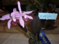 Gympie Plant C. perrinii