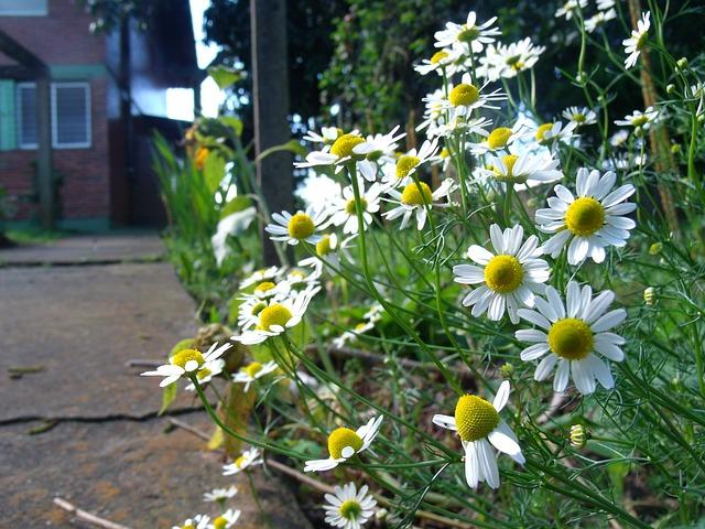 Kamilla, gyulladáscsökkentő, szemgyulladás, kötőhártya-gyulladás, gyógyfüves kertem