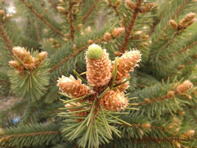 Fenyő, fenyőrügy, karácsony, tiszta levegő, Pinus