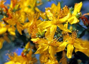 Orbáncfű virága