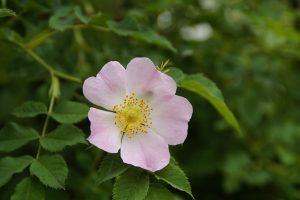 A gyepűrózsa virága