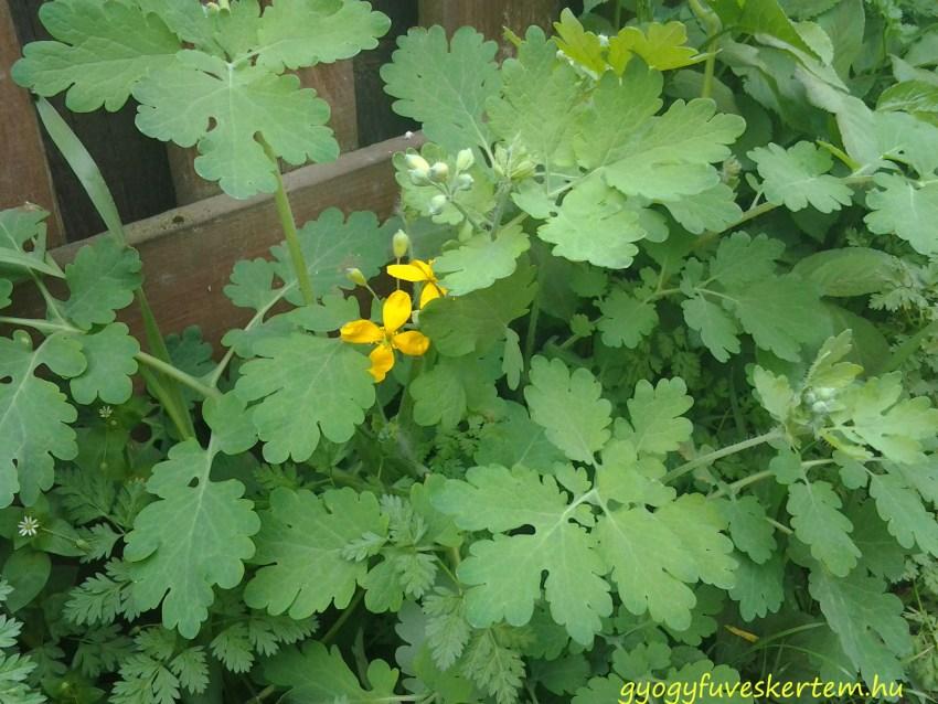 Vérehulló fecskefű, szemölcs, aranyér, gyógyfüves kertem