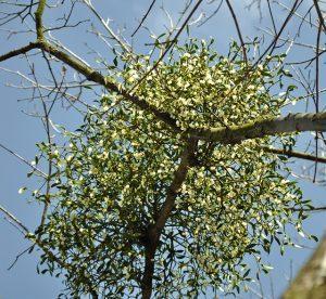 Fehér fagyöngy a gazdanövényen, fák ágai között
