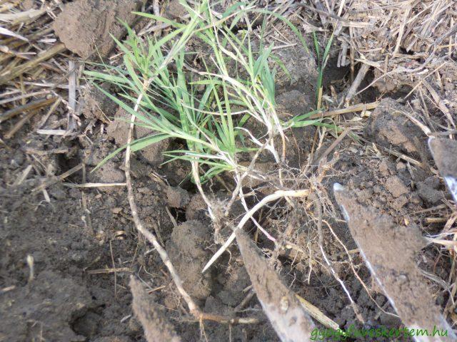 Tarckbúza, tarack, rizóma, gyógyfüves kertem