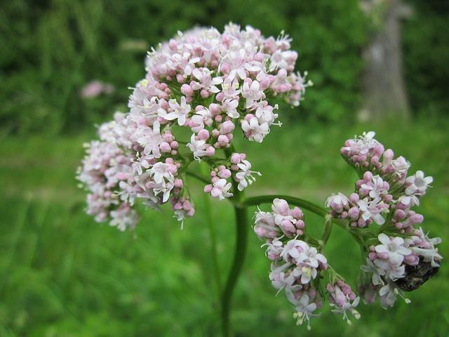 Macskagyökér virága