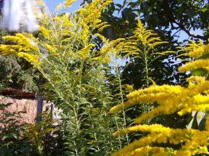 Kanadai aranyvessző virágzáskor