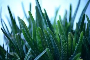 Aloe vera, orvosi aloé, aloé zselé, aloe gél