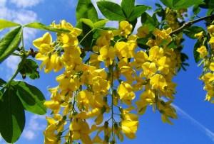 aranyeső, aranyakác, sárga akác
