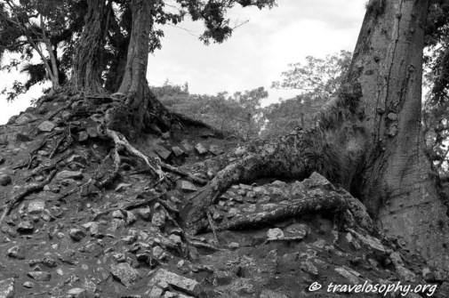 The Roots of a Ceiba Tree at Copán, Honduras, Central America. Photograph by Jean-Jacques Morin, September 2015.