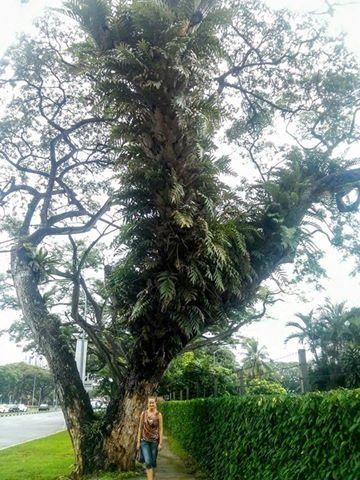 singapore rain tree