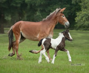 Mule Mom and Gypsy Vanner Foal