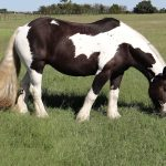 Horse Feathers Nova