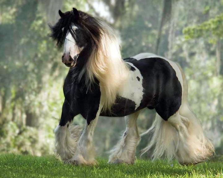 Fall Wallpaper Horses Shogun Gypsy Gold America S Gypsy Vanner Foundation Farm