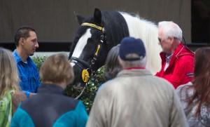 Meet the Gypsy Vanner Horses of Gypsy Gold Farm