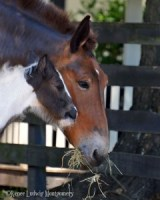 Gypsy Vanner Foal and Mule Mom