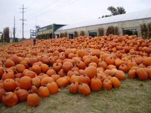 Pumpkin display 5 web