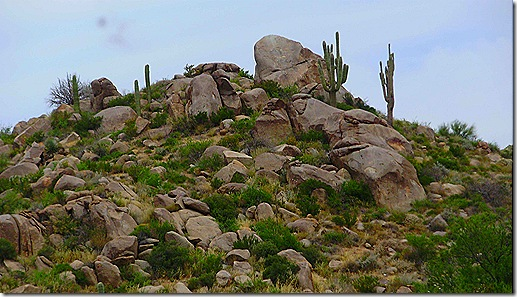 Cactus on hillside