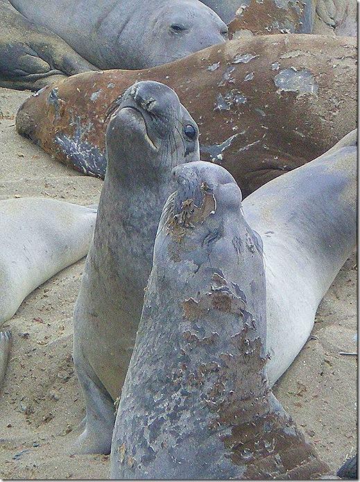 Elephant seals facing off 2