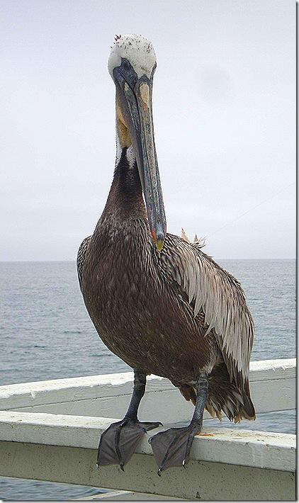 Pelican on rail big