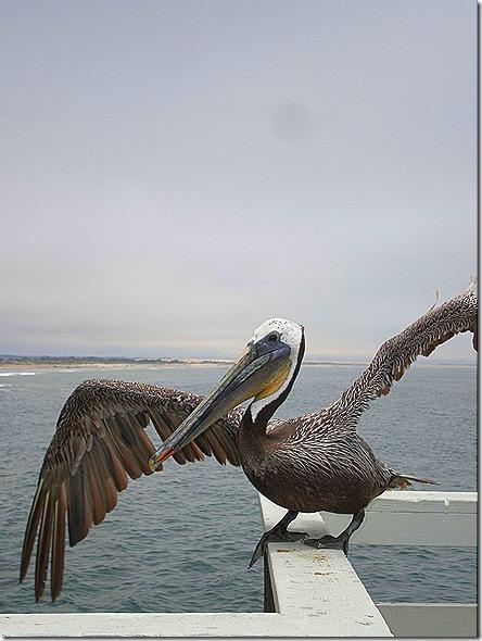 Pelican wings spread