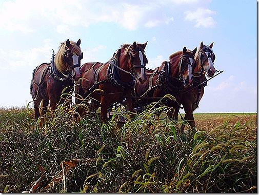 Amish horse team