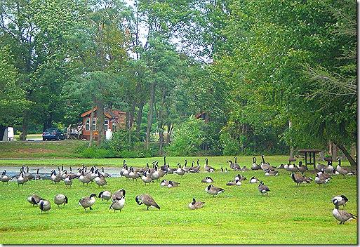 Geese at Hershey TTN