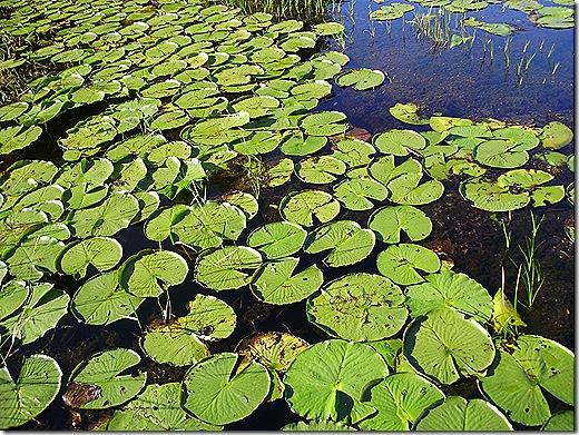 TTN Orlando lily pads 2