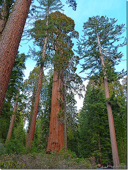 Big Sequoia 3