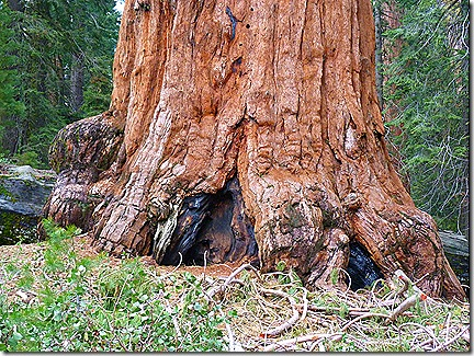 Big Sequoia base
