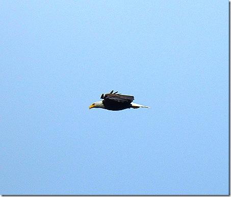 Eagle flying 8