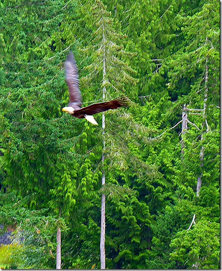 Eagle flying 9