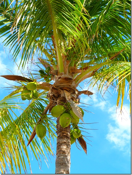 Coconut palm2