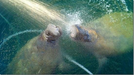 Watering manatee duo 3