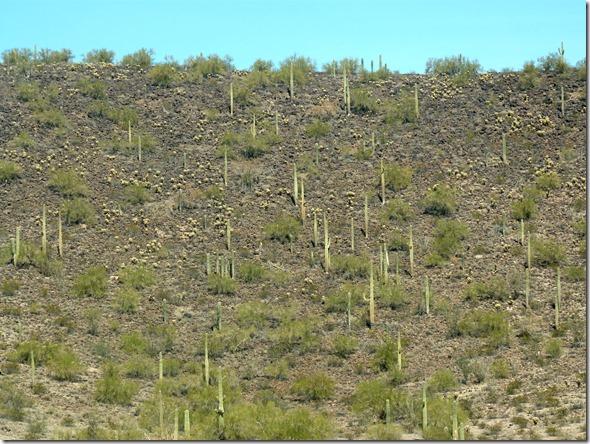 Saguaro hillside 2