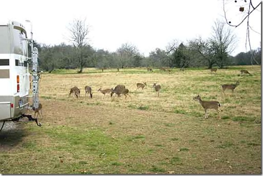 Deer feeding 6 small
