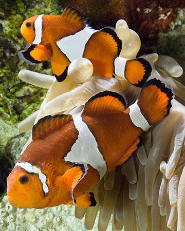 animals-clownfish-slide1-web[1]