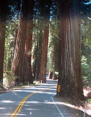Tight redwoods 2