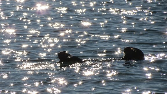 Otter stars small