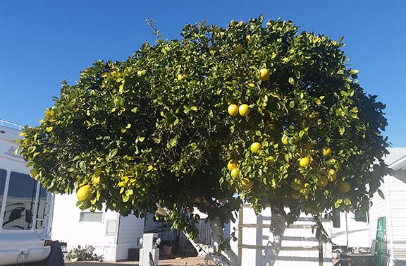Grapefruit tree small